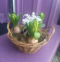 Hyacinth planted basket for delivery by Heavenly Scent Florist in Darlington delivered to home and work in Darlington and surrounding areas by Florist on 33 bondgate Darlington
